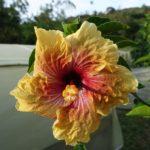 Salento, fleur